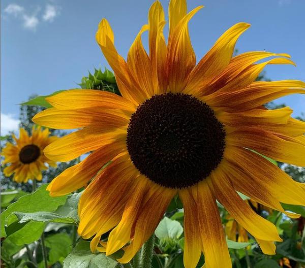 Sommerurlaub 2021 Sonnenblume